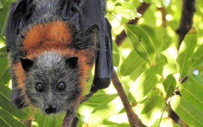 La responsabilità della pandemia è umana, il pipistrello è solo un possibile vettore del Covid-19. Basta fake news.