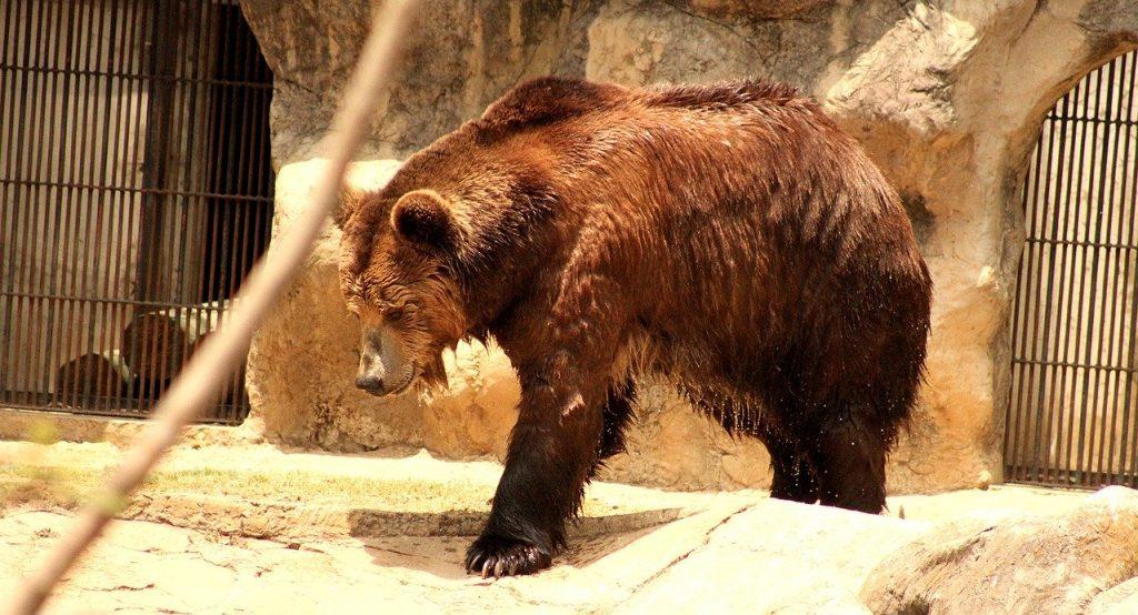 Riparte la caccia all'orso M49