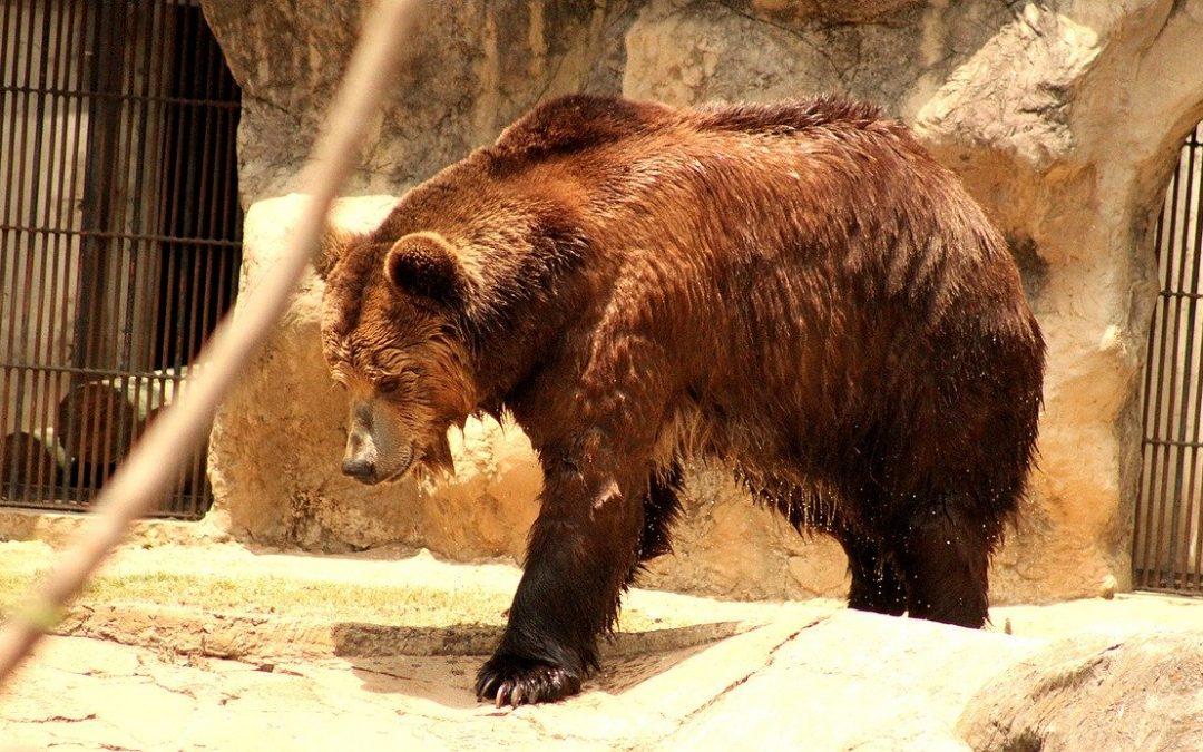 Riparte la caccia all'orso M49, che sembra aver interrotto il letargo invernale