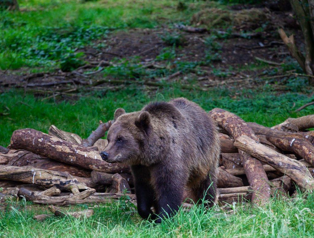 caccia orso M49