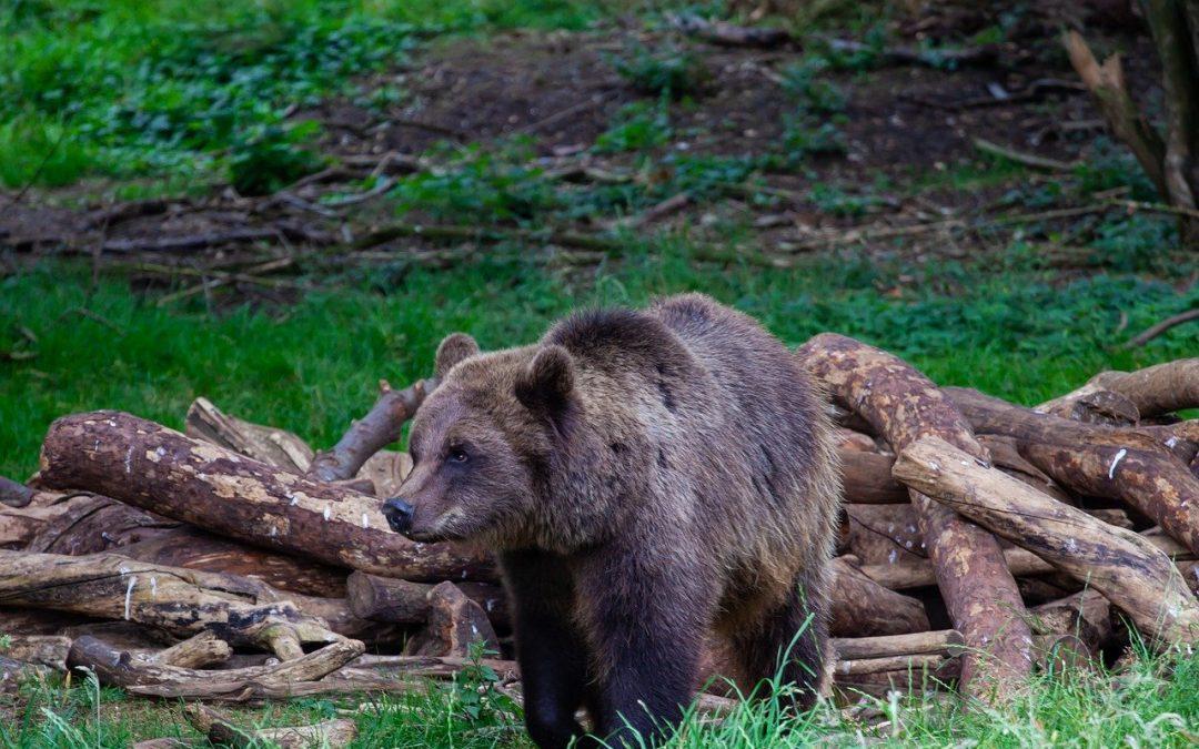 Nemmeno il coronavirus ferma la caccia all'orso M49, che ora si trova in provincia di Bolzano