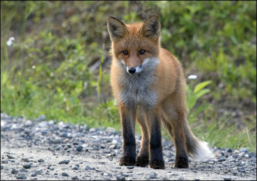 Lombardia guerra alle volpi