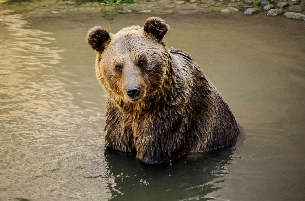 Imprigionato orso M49