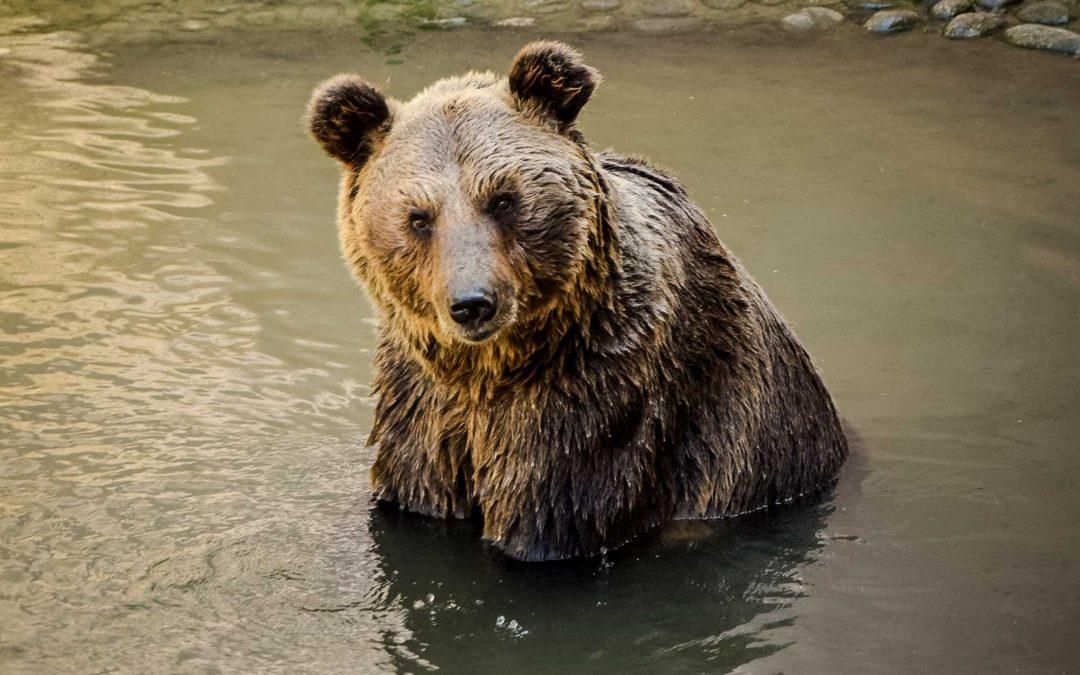 Imprigionato orso M49, tornato a Casteller dal quale questa volta difficilmente potrà scappare