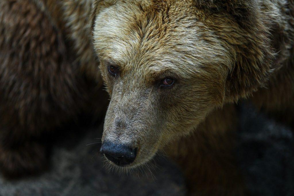 brutta storia dell'orso M49