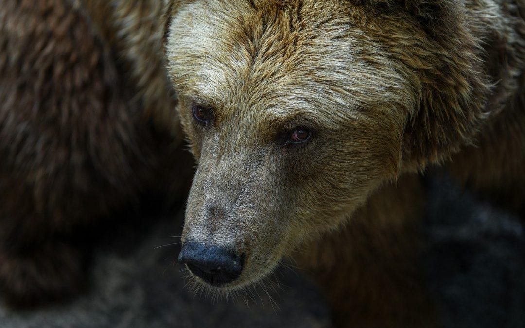 La brutta storia dell'orso M49 non può essere liquidata come una necessità per la conservazione della specie