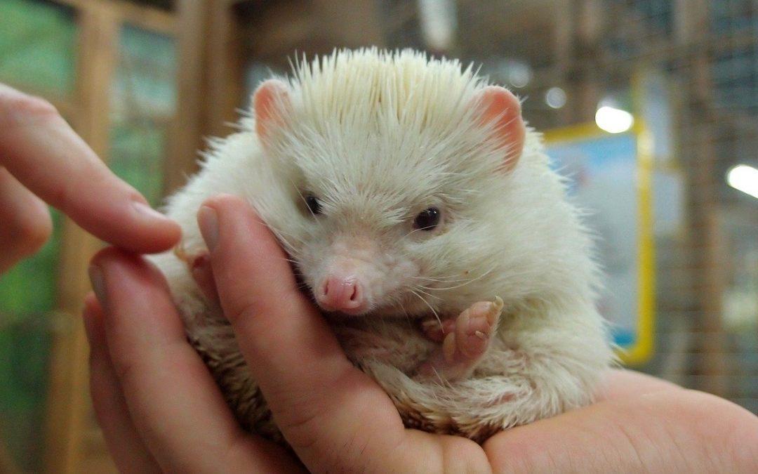 Un riccio non è un animale domestico, anche quando è esotico e viene venduto in un negozio di animali
