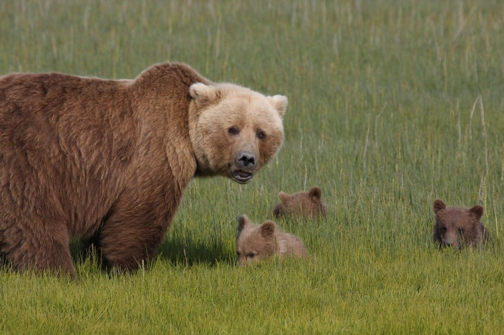 Trump dichiara guerra orsi lupi