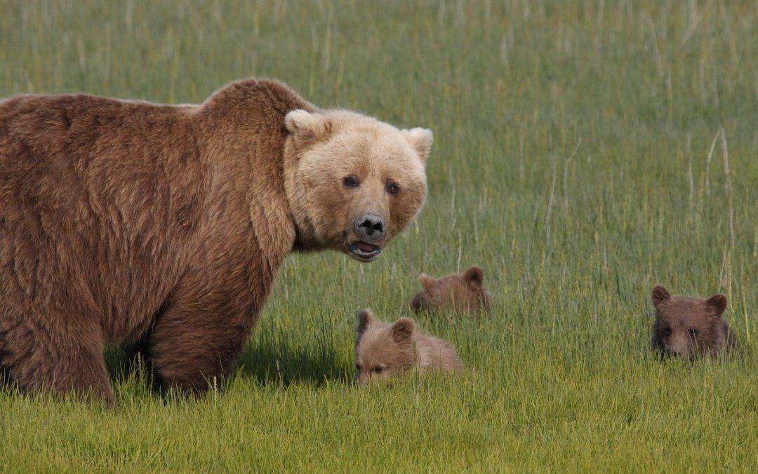 Presidente Trump dichiara guerra a orsi e lupi in Alaska, con sistemi inaccettabili per crudeltà