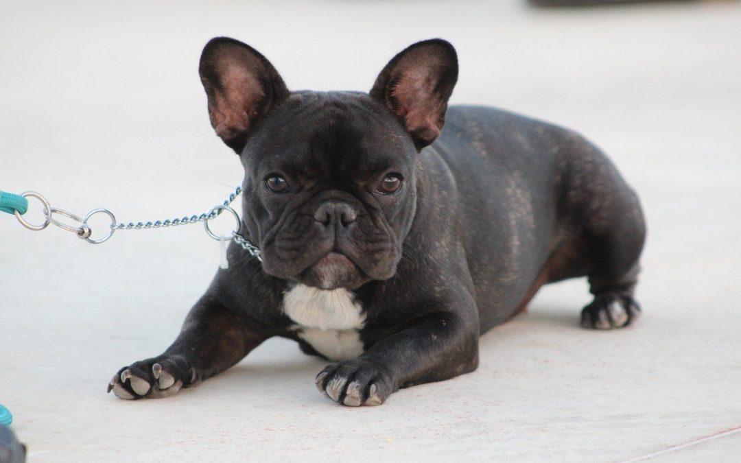 500 bulldog francesi cuccioli spediti dall'Ucraina al Canada, ma molti muoiono durante il trasporto aereo