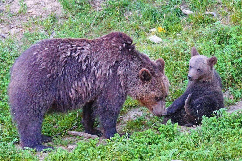 Trentino vuole gestire orsi