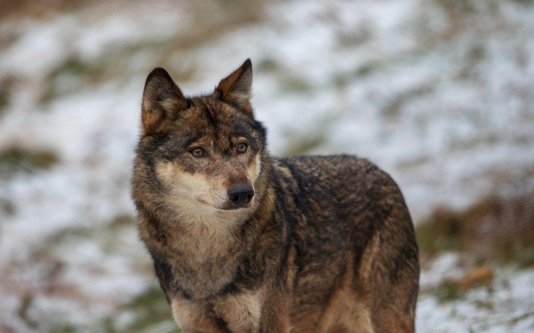 Un lupo si avvicina alle case e viene catturato in Romania, ma la Corte di Giustizia europea stabilisce che non è permesso