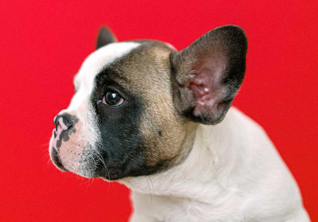 Bulldog cane mozzare fiato