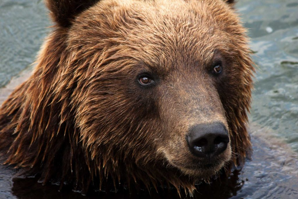 Nuovamente fuga orso M49