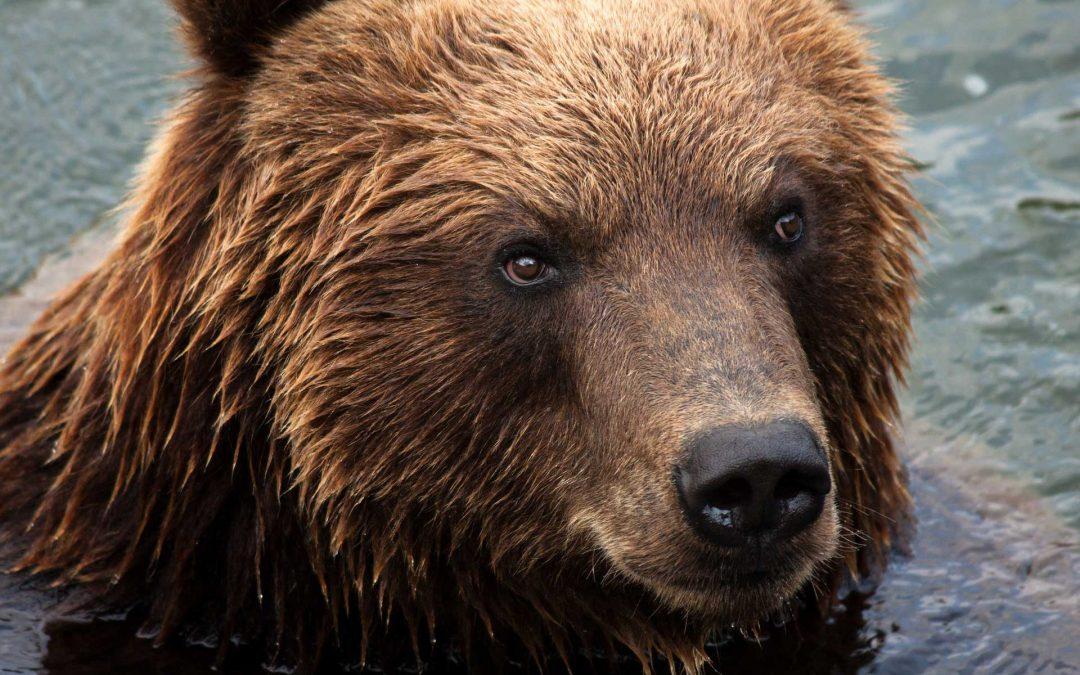 Nuovamente in fuga orso M49 da Casteller: incompetenza al potere in Trentino