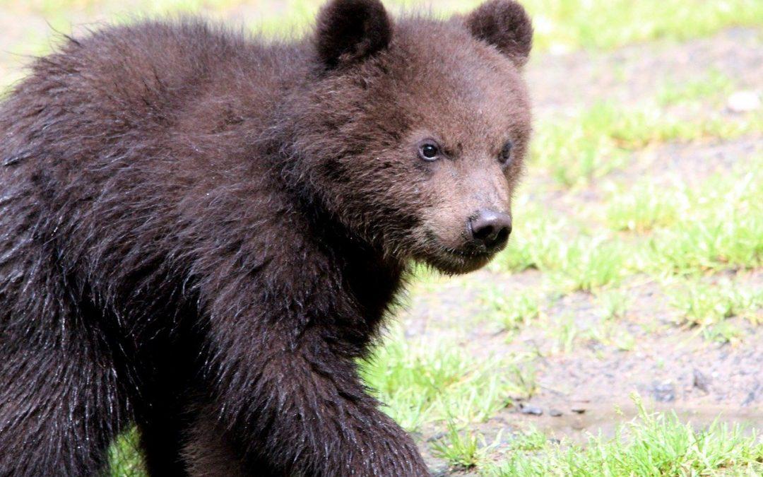 L'orsa Jj4 alleverà i cuccioli: sospesa fino al 22 ottobre l'ordinanza di Maurizio Fugatti