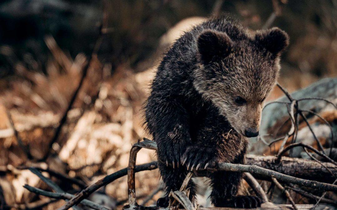 Orsa Jj4 avrà salva la vita, ma rischia di perdere per sempre, come M49, la dignità di orso