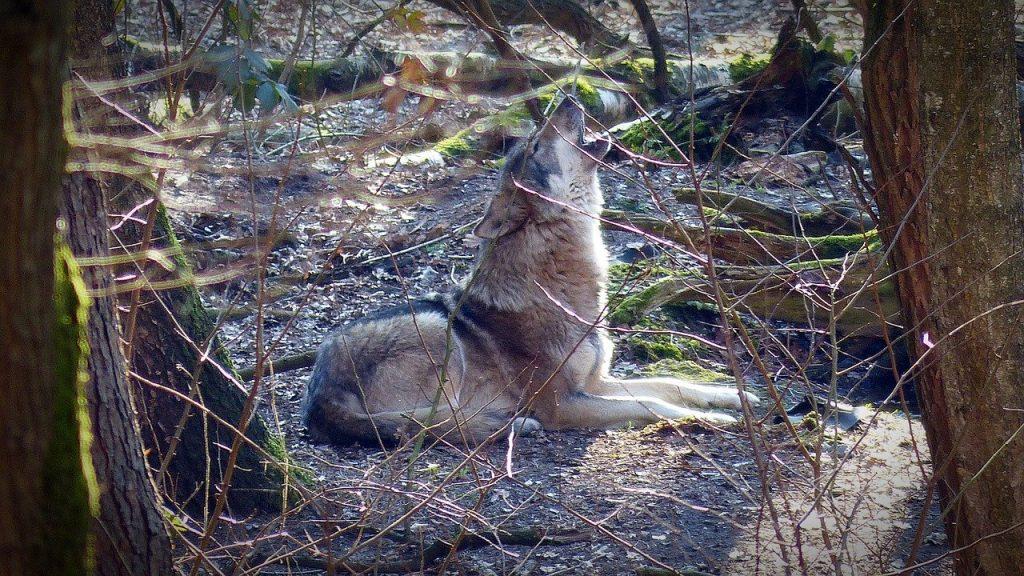 Coldiretti contro i lupi