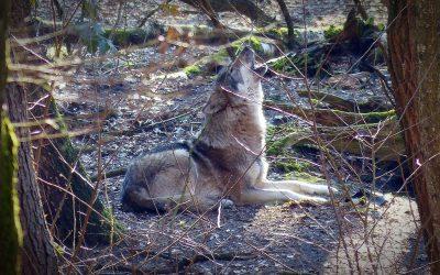 Coldiretti contro i lupi: sbranano anche i cani da guardiania, vanno fermati!