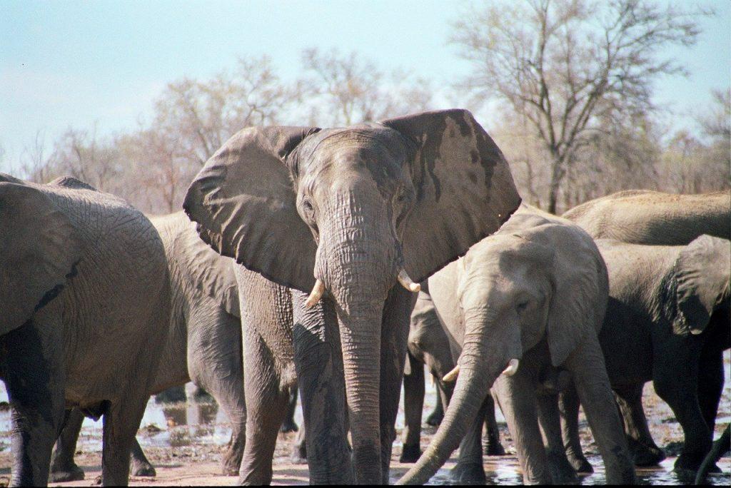 morte di undici elefanti