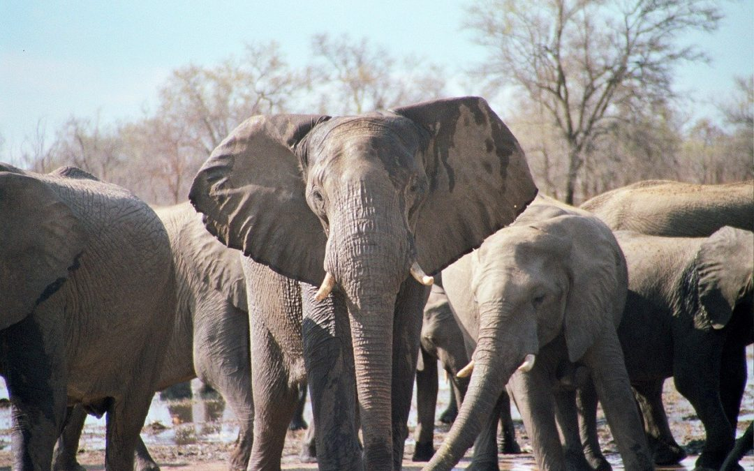 Mistero fitto sulla morte di undici elefanti in Zimbabwe