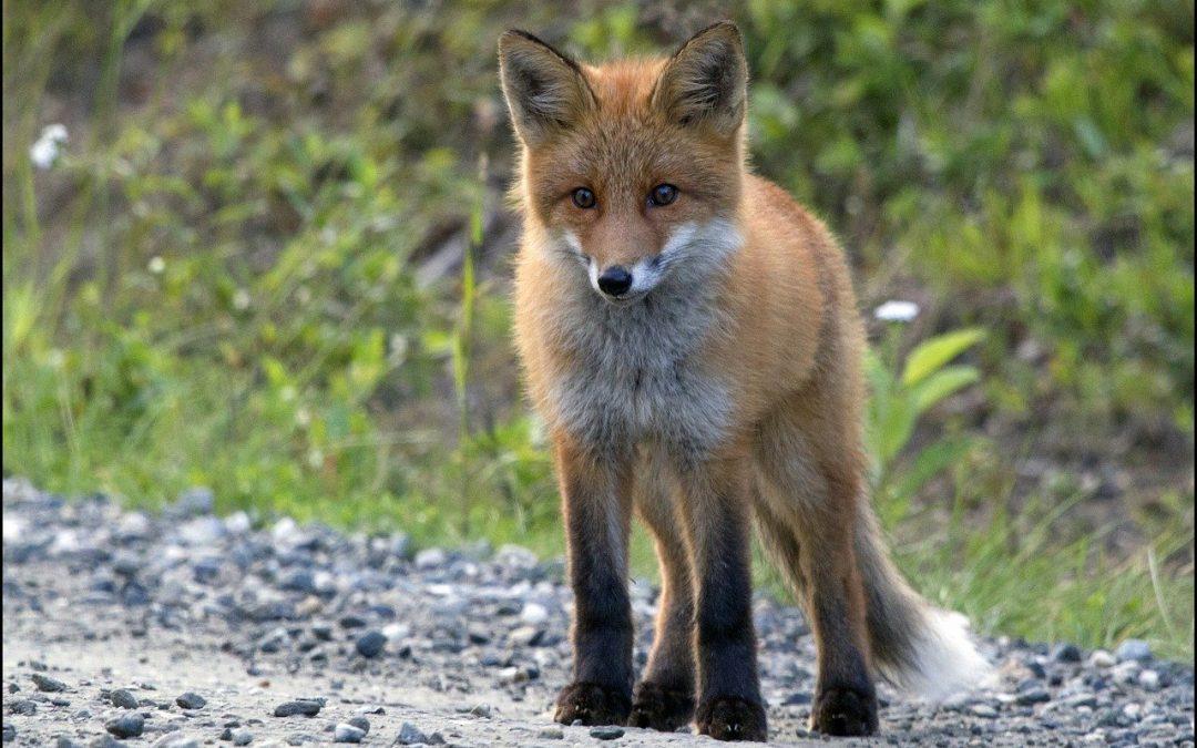 Il selfie con la volpe e il giornalismo attento al rispetto degli animali selvatici