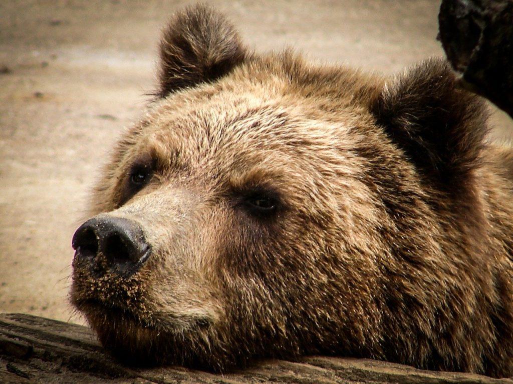 ricatturato l'orso M49 in fuga