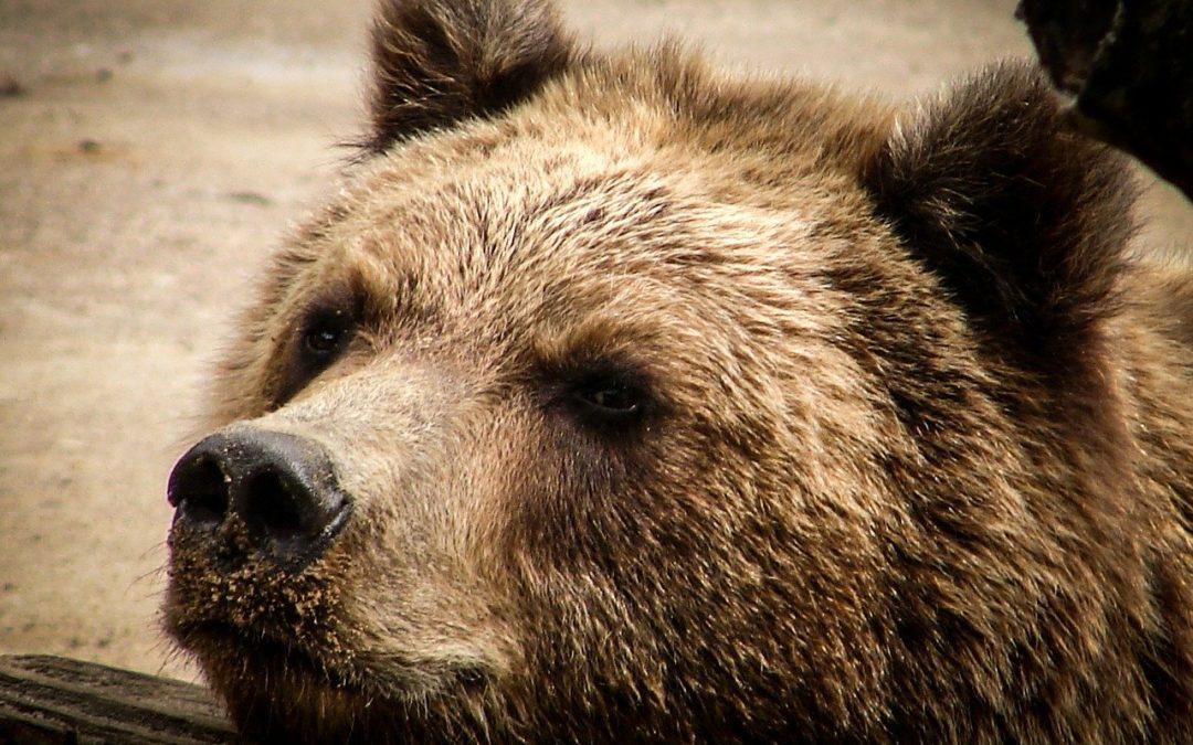 E' stato ricatturato l'orso M49 in fuga per la terza volta: un colpo di teatro con le elezioni alle porte