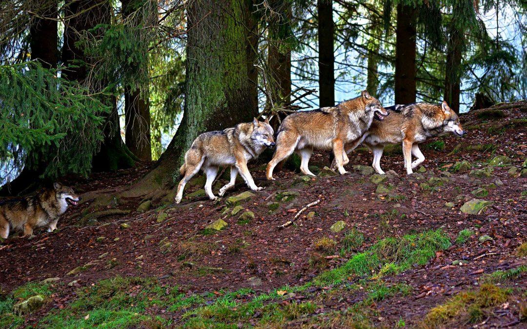 In Svizzera il lupo resta protetto: il referendum boccia, di stretta misura, la riforma della legge sulla caccia