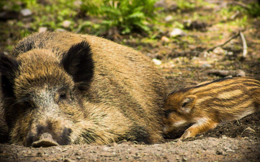 Cinghiali rifiutati e rifiuti abbandonati: la gestione della fauna è un fallimento in tutto lo stivale