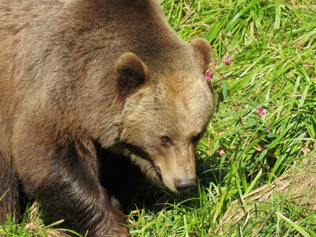 Consiglio di Stato manda orsa Jj4