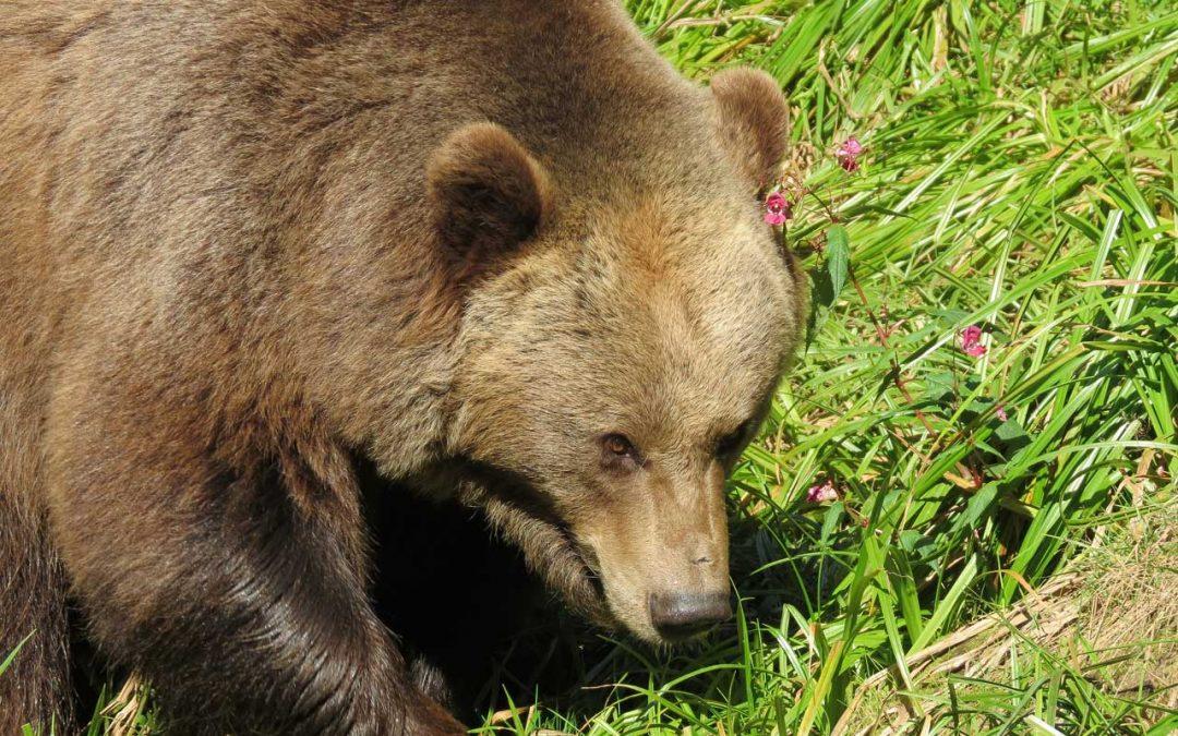 Il Consiglio di Stato manda orsa Jj4 in letargo, smontando a pezzettini l'ordinanza di Fugatti