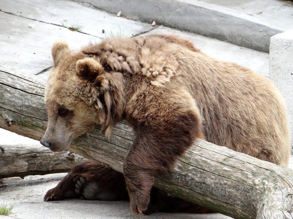 maltrattamento degli orsi in Trentino
