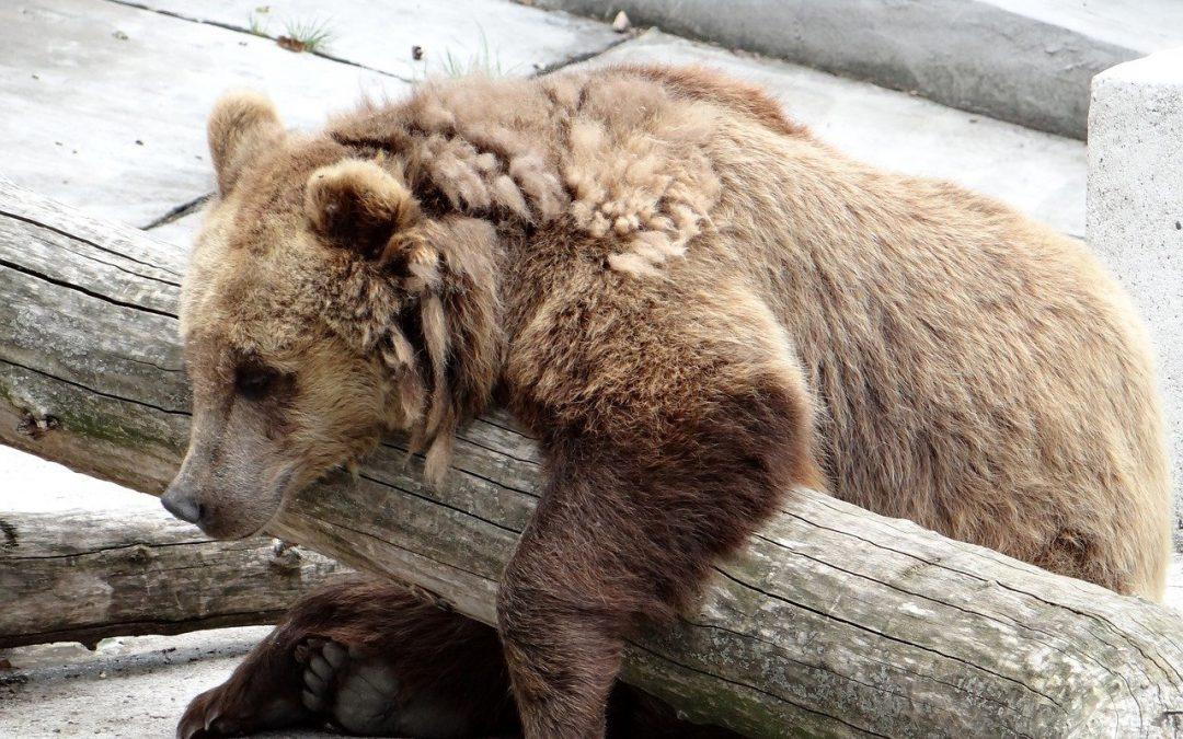 Fra azioni e probabili omissioni prosegue il maltrattamento degli orsi in Trentino