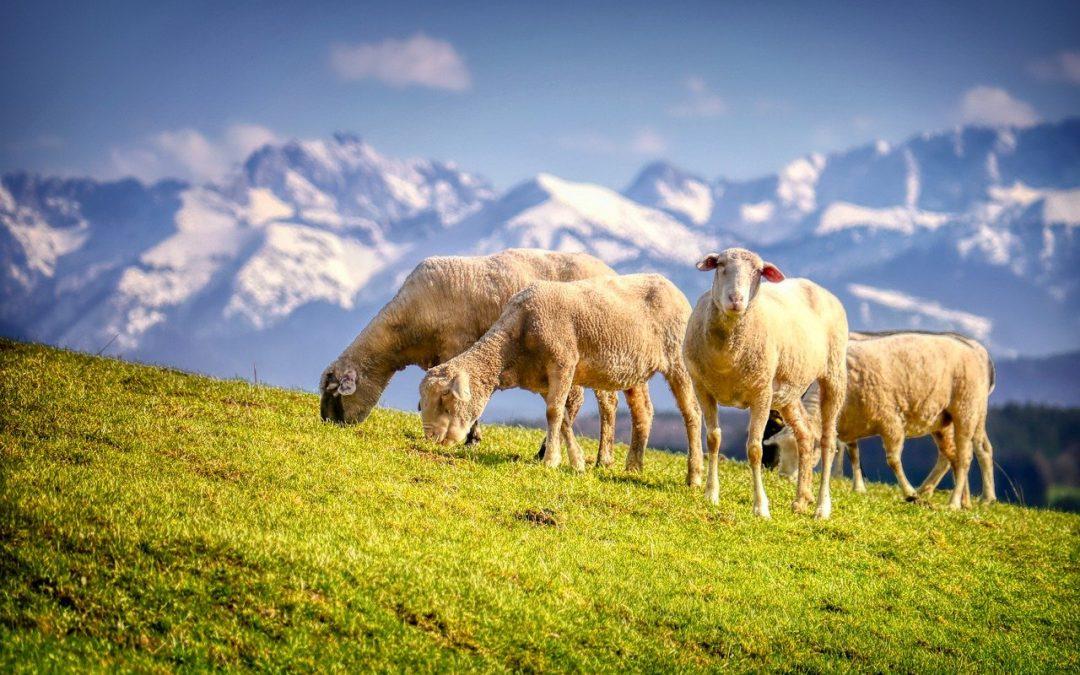 Lupi e pastori possono convivere, imparando a difendersi dalle predazioni