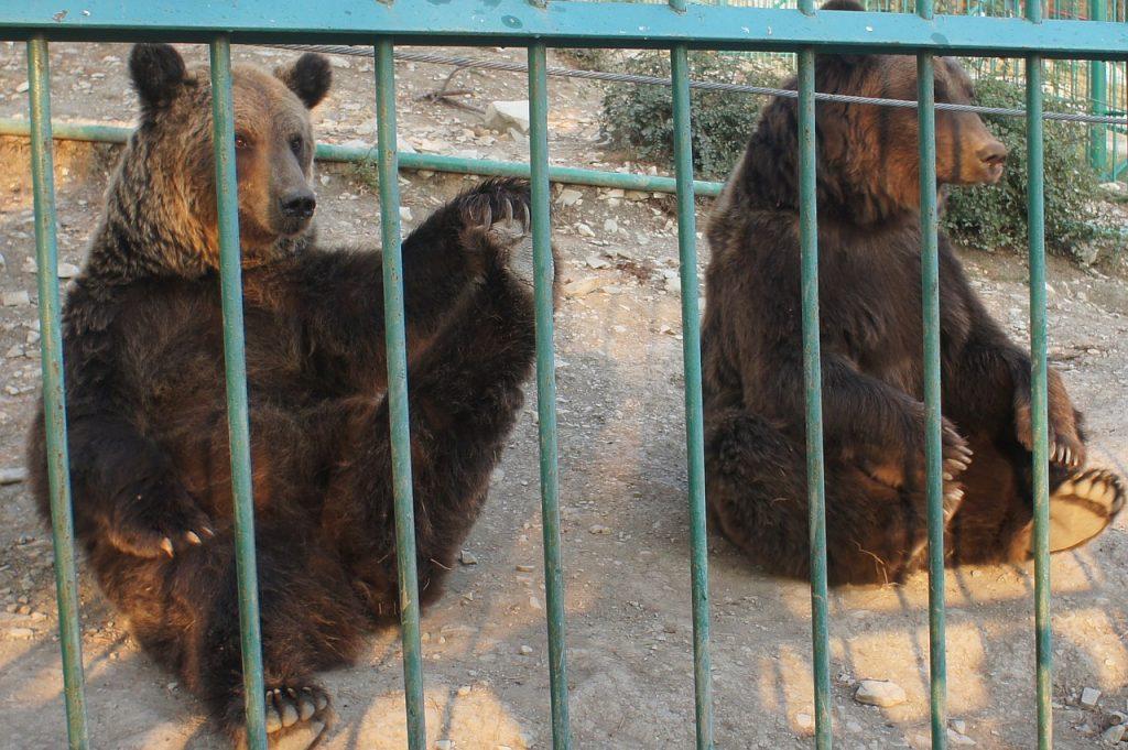 orsi catturati in Trentino