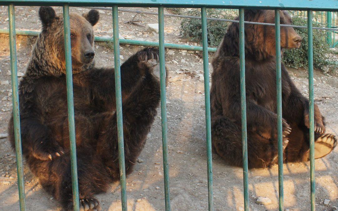 Orsi catturati in Trentino: mentre nulla succede qualcuno pensa di costruire un secondo carcere