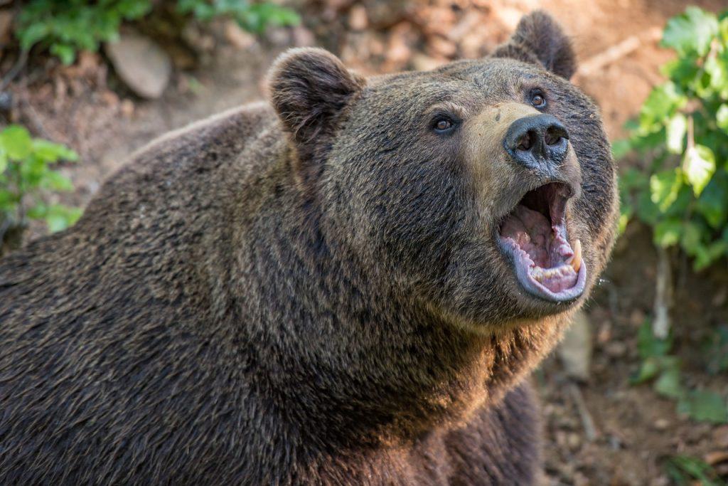 orso M57 resta nella gabbia