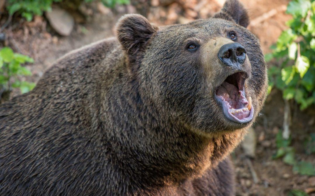 L'orso M57 resta nella gabbia: il tribunale amministrativo di Trento nega la sospensiva richiesta da ENPA e OIPA
