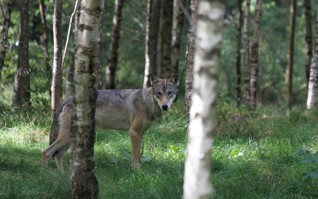 Il lupo preda i cinghiali, lo conferma anche il Parco di Veio, negando pericoli per gli animali domestici