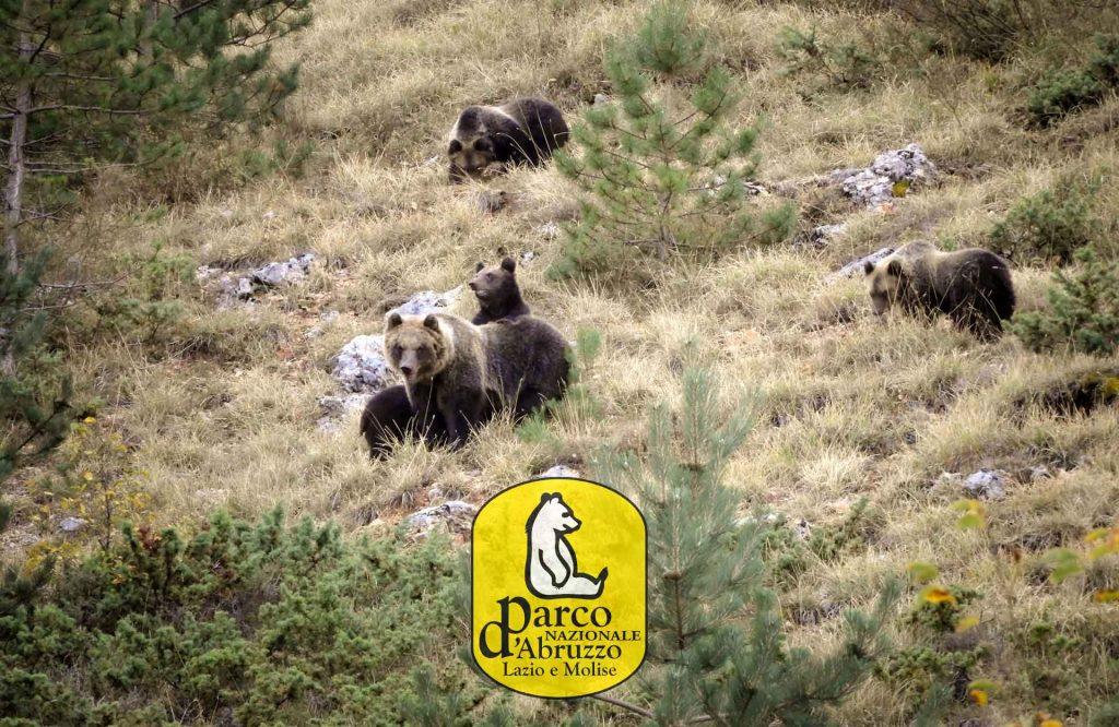 orsa Amarena quattro piccoli