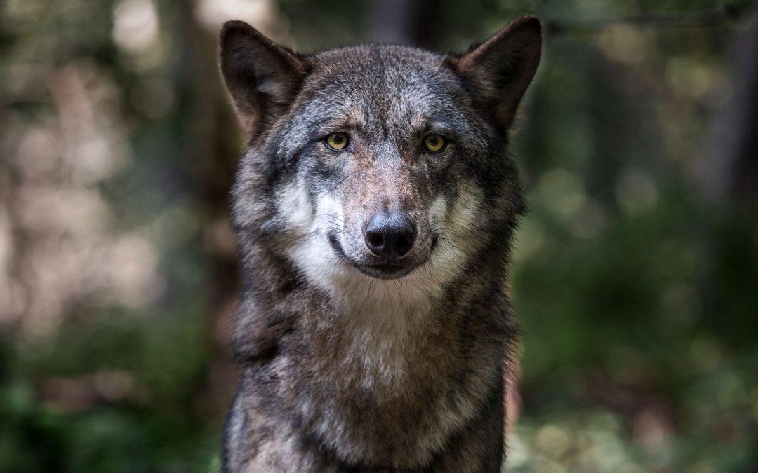 Bracconaggio e investimenti stradali sono le principali cause di morte del lupo