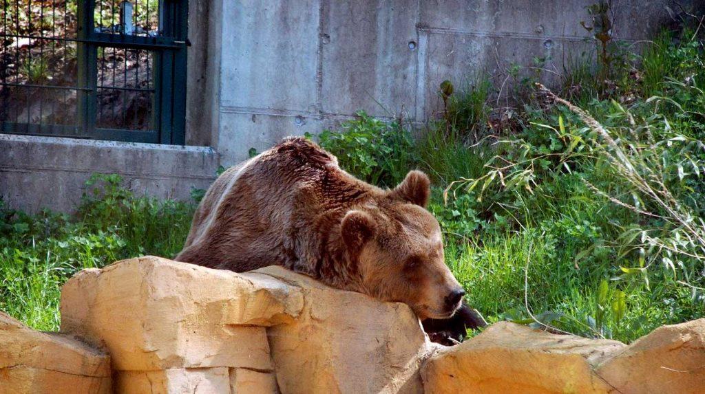 orso M57 resta imprigionato