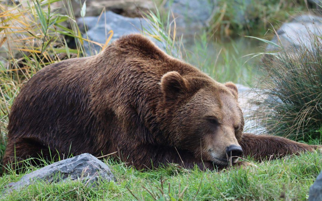 L'orso M49 rimane rinchiuso, secondo quanto stabilito da una sentenza del Consiglio di Stato